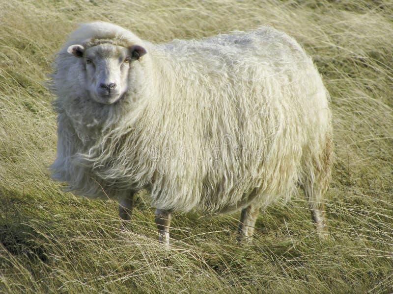 Carneiros islandêses bonitos no vento imagem de stock