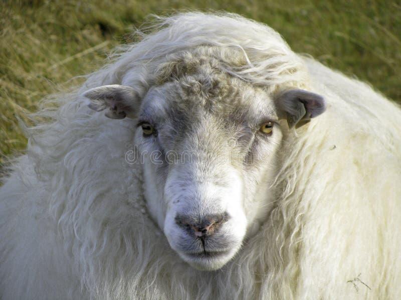 Carneiros islandêses bonitos no vento fotos de stock royalty free