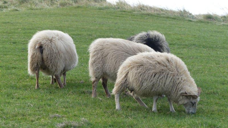 Carneiros islandêses, família pequena na terra fotos de stock royalty free