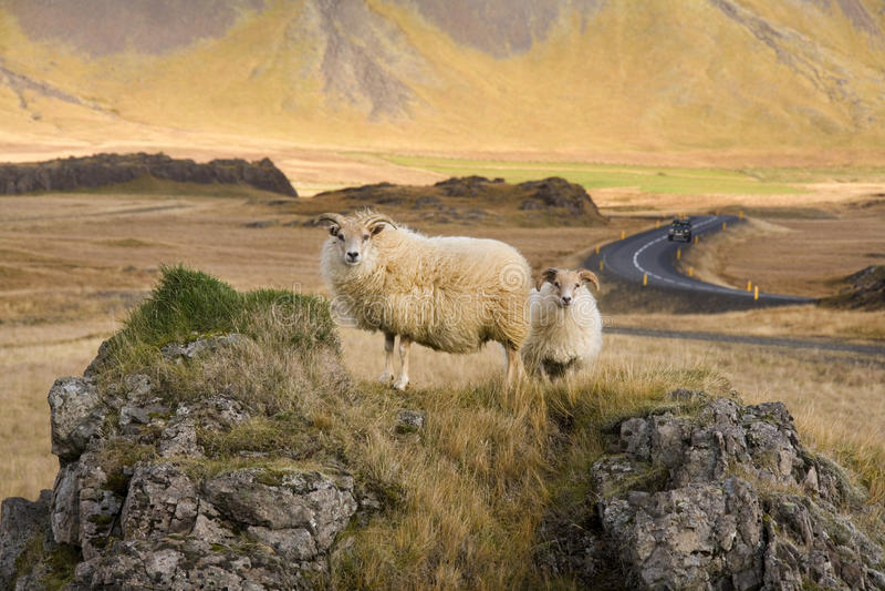 Carneiros islandêses - Islândia fotos de stock