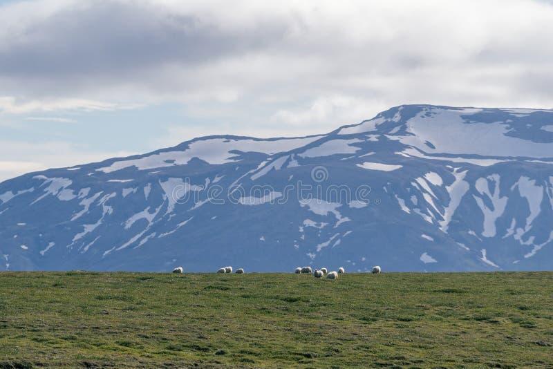 Carneiros islandêses que pastam na frente das montanhas altas imagem de stock royalty free