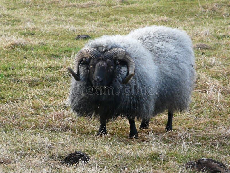 Carneiros islandêses típicos imagem de stock