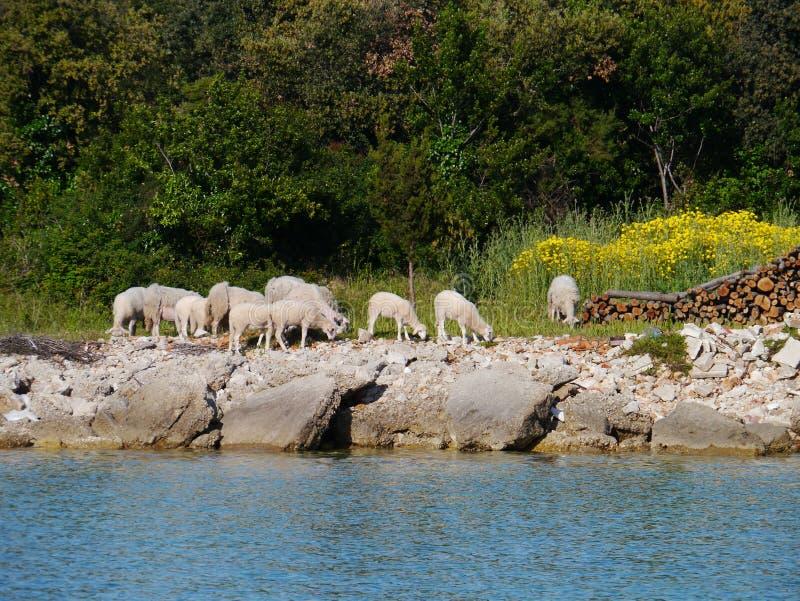 Carneiros na margem da baía de Olib imagem de stock