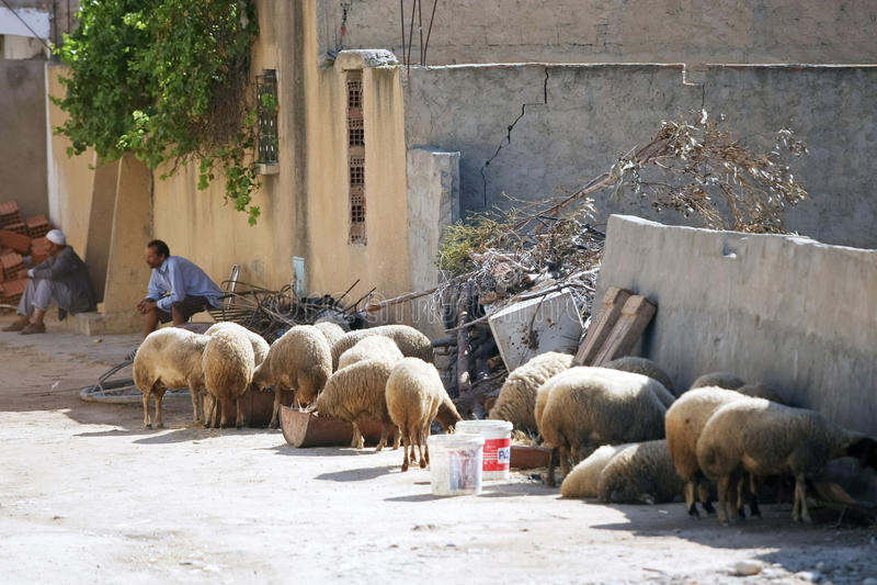 Carneiros na rua de Kairouan fotografia de stock