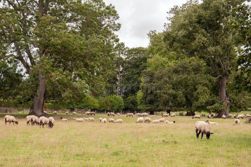 carneiros no campo fotografia de stock royalty free