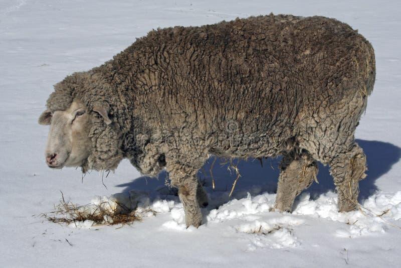 Carneiros no inverno fotografia de stock