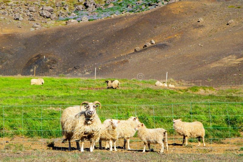 Carneiros no pasto perto de um monte enorme em Islândia fotografia de stock royalty free