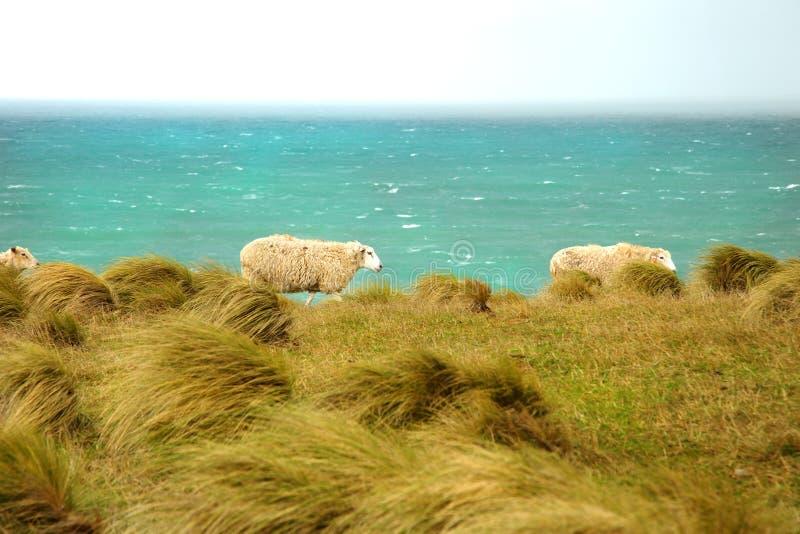 Carneiros no prado com o oceano no fundo foto de stock
