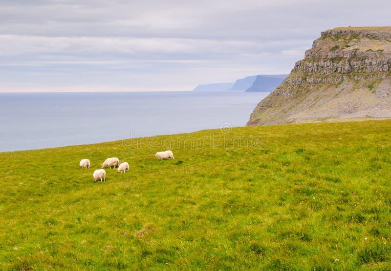 Carneiros ocidentais do fjord de Islândia imagens de stock royalty free