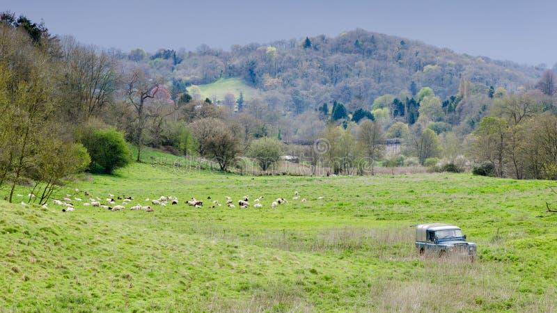 Carneiros, pastor e cães pastor no campo inglês fotos de stock royalty free