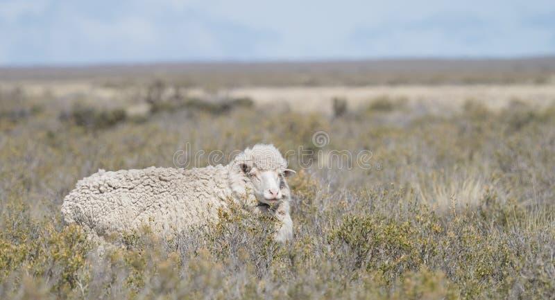 Carneiros patagonian imagens de stock