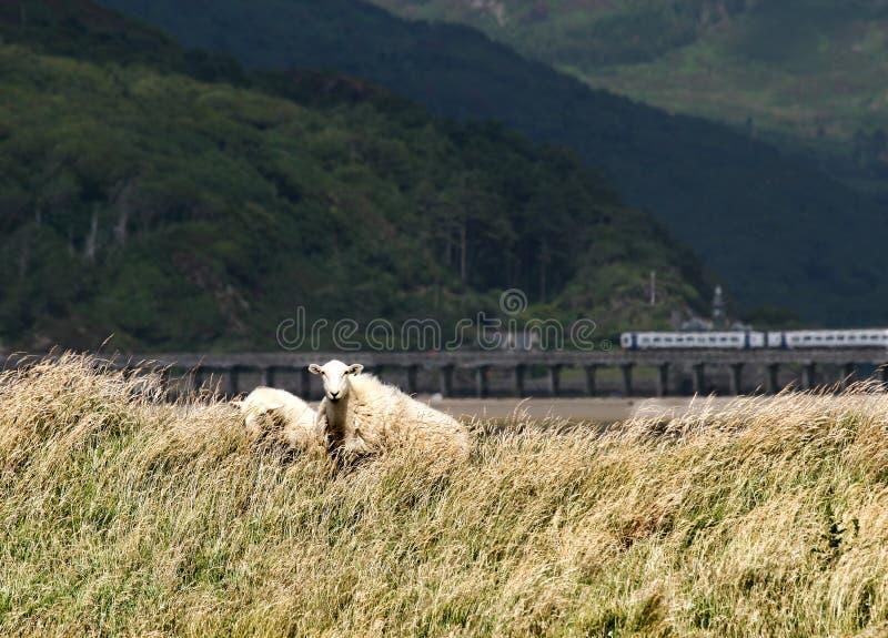 Carneiros por Barmouth, Wales imagem de stock royalty free