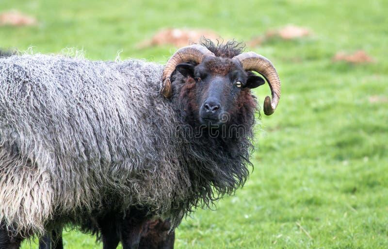 carneiros Preto-de cabelo com chifres longos fotos de stock royalty free