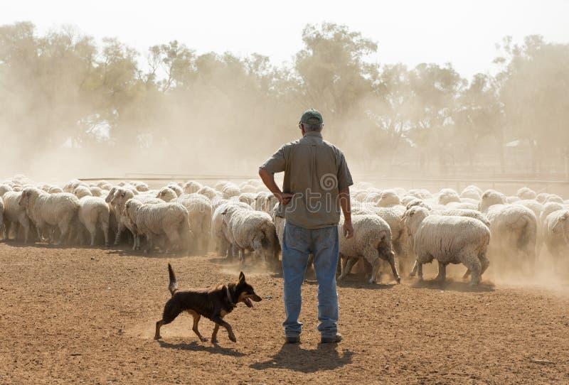 Carneiros que agrupam no interior Novo Gales do Sul imagem de stock