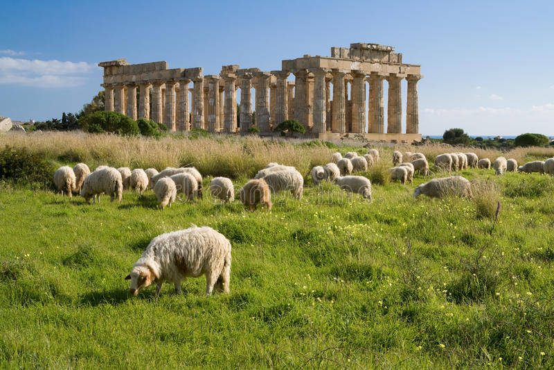 Carneiros que alimentam na frente do templo E, Selinunte. fotos de stock