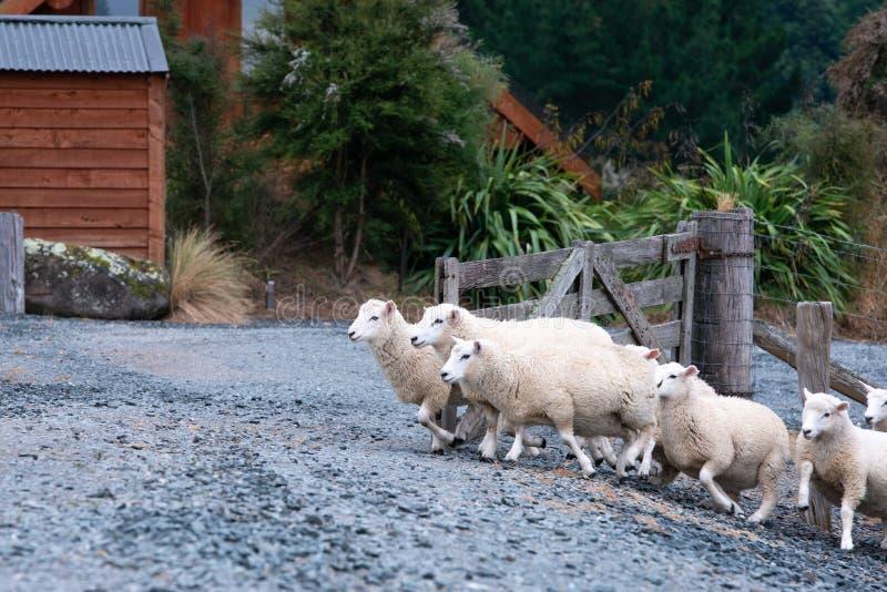 Carneiros que cruzam uma porta em Otago central fotos de stock royalty free