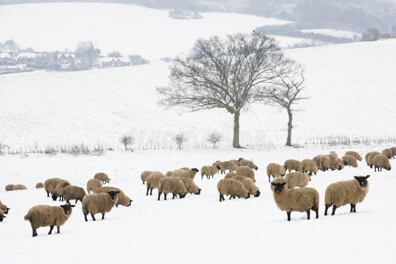 Carneiros que estão em um campo nevado fotos de stock royalty free