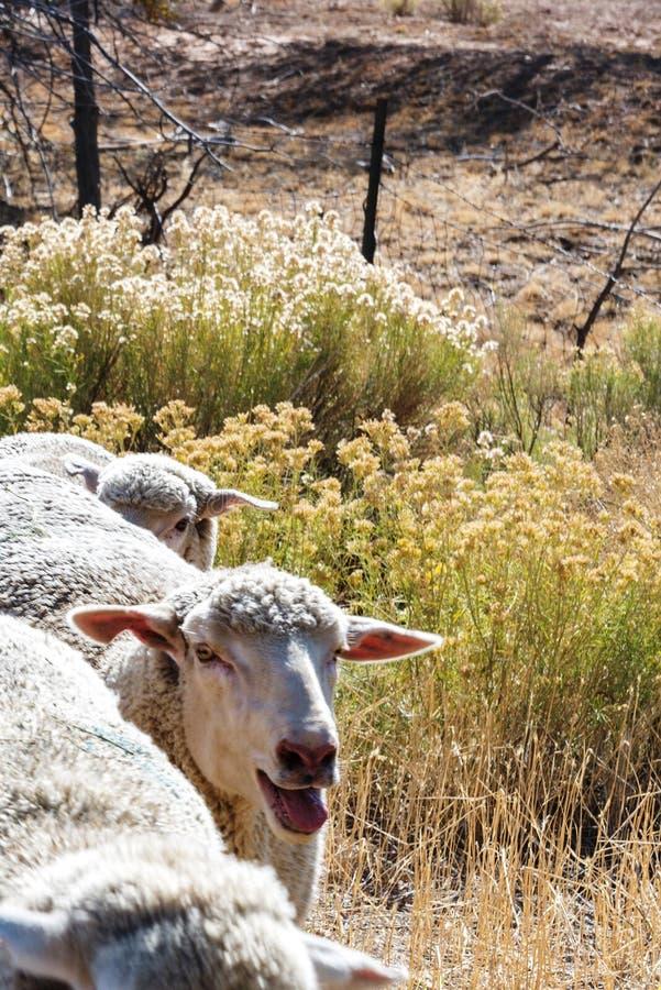 Carneiros que estão sendo reunidos em uma estrada do corredor dos rebanhos animais fotos de stock royalty free