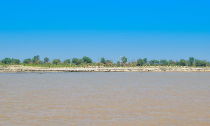 Carneiros que pastam em campos de trigo verdes no banco do rio indus foto de stock