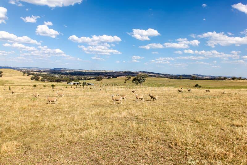 Carneiros que pastam em Cowra - Novo Gales do Sul central Austrália foto de stock