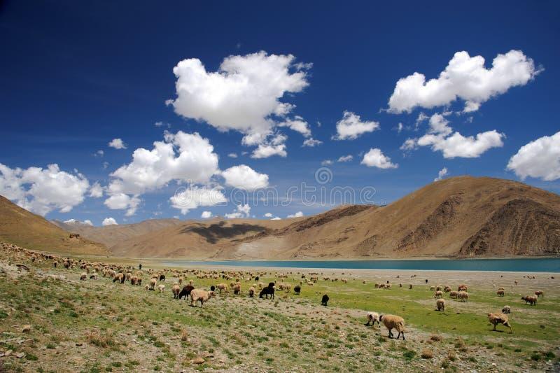 Carneiros que pastam em Himalaya perto do lago fotografia de stock royalty free