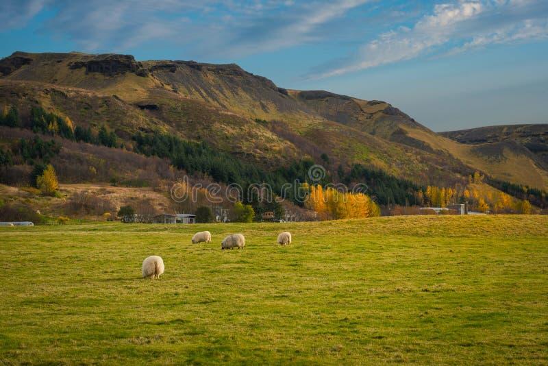 Carneiros que pastam em um campo em Islândia foto de stock