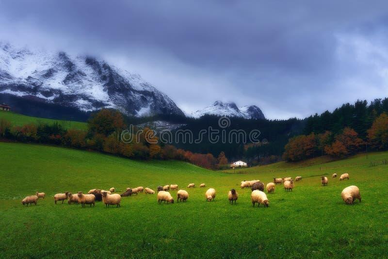 Carneiros que pastam no país Basque fotografia de stock