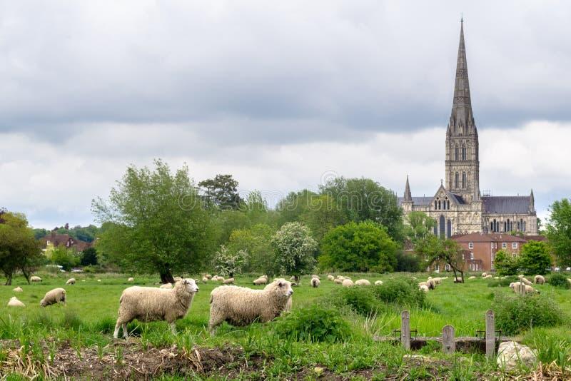Carneiros que pastam no prado com a catedral de Salisb?ria no fundo imagens de stock