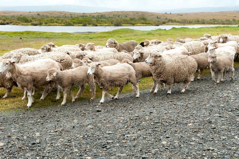 Carneiros que vêm em casa ao rancho em Argentina Alguns carneiros são tosquiados imagem de stock