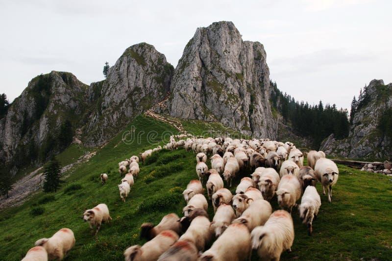 Carneiros que vêm para baixo a montanha fotografia de stock