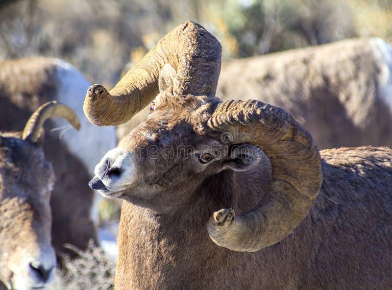 Carneiros Ram Sticking Tongue Out do Big Horn fotos de stock royalty free