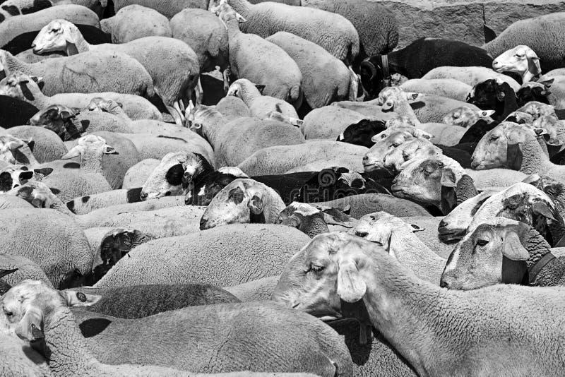 Carneiros Shepherding fotos de stock