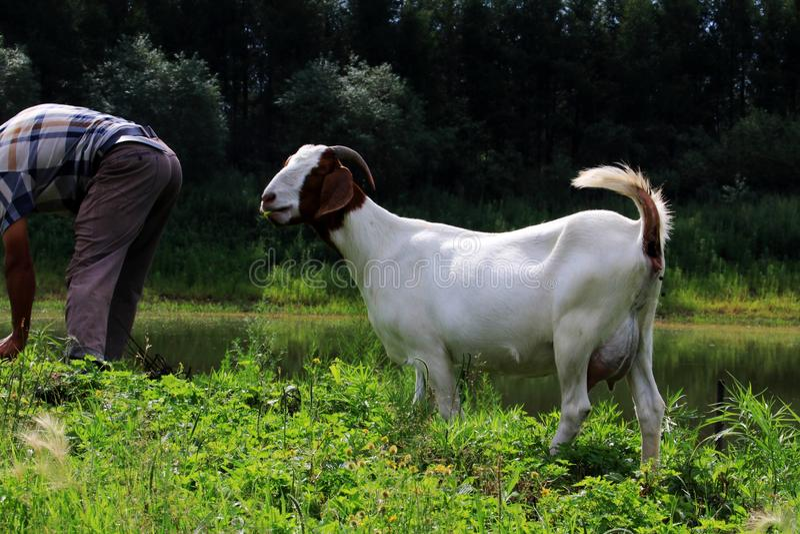 Carneiros; um sobrenome fotografia de stock