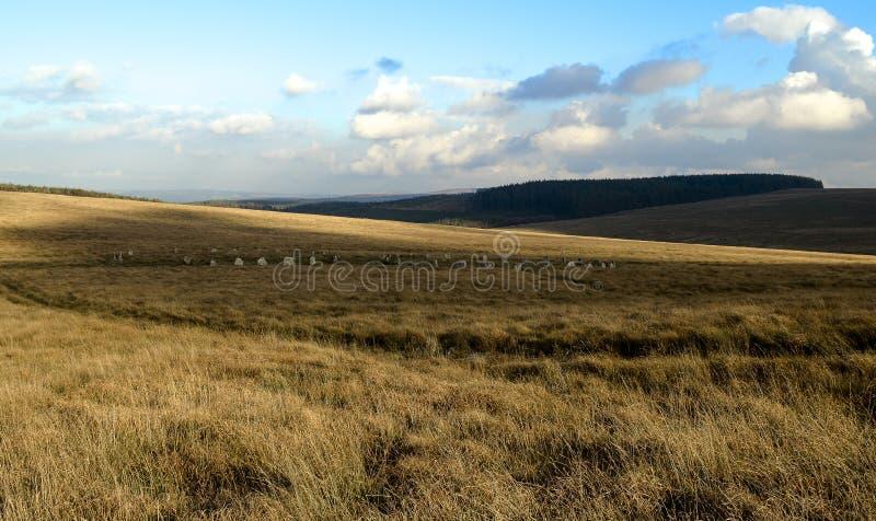 Carneros castrados grises, dartmoor Devon del Tor de Sittaford imagen de archivo libre de regalías