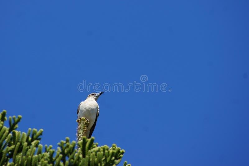 Carniceiro Bird sobre a árvore imagens de stock