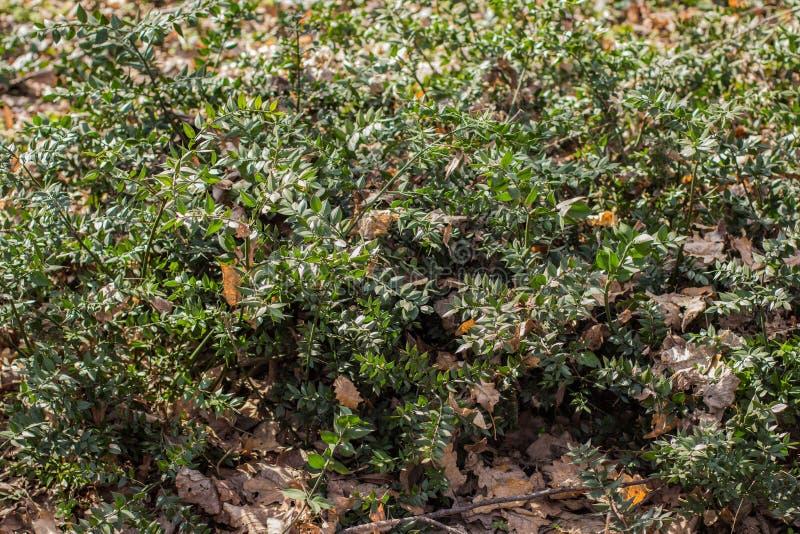 Carniceiro-vassoura de Platnt com escuro - cladodes verdes fotos de stock