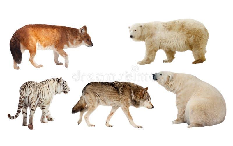 Download Carnivora Mammal. Isolated Over White Stock Photo - Image: 28302082