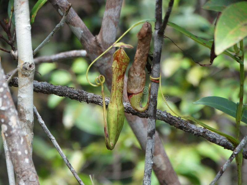 Carnivorous pitcher plant. Nepenthes albomarginata. royalty free stock images