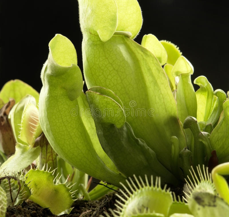 Download Carnivorous plants stock photo. Image of performance - 29701724