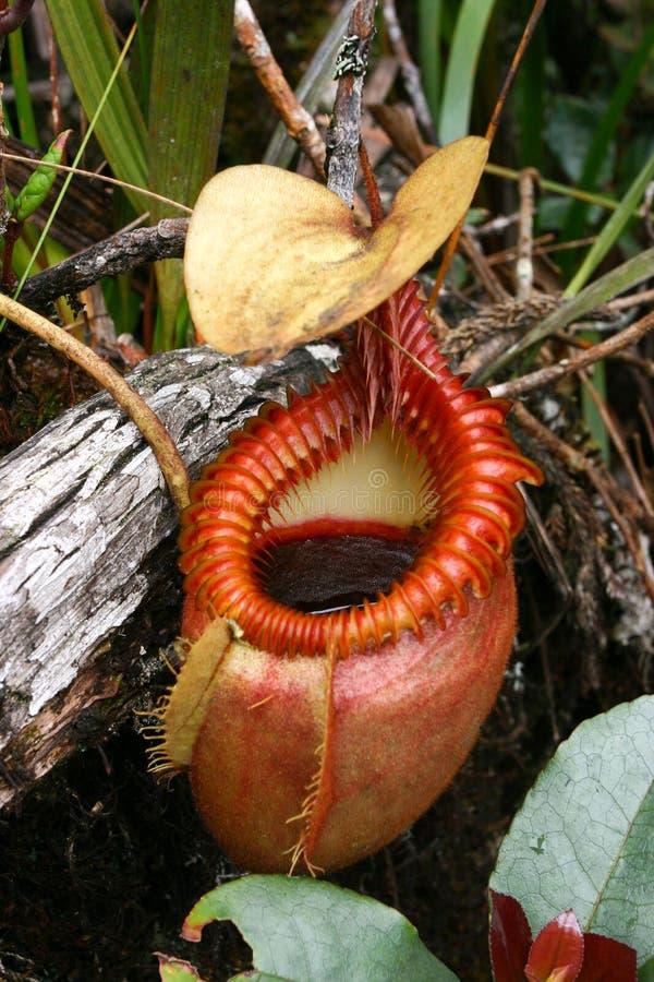 Download Carnivorous plant stock photo. Image of ampullaria, droseraceae - 10819072