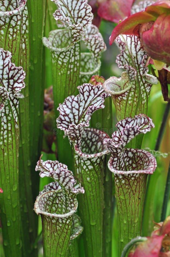 Free Carnivorous Plants Stock Photo - 31187240