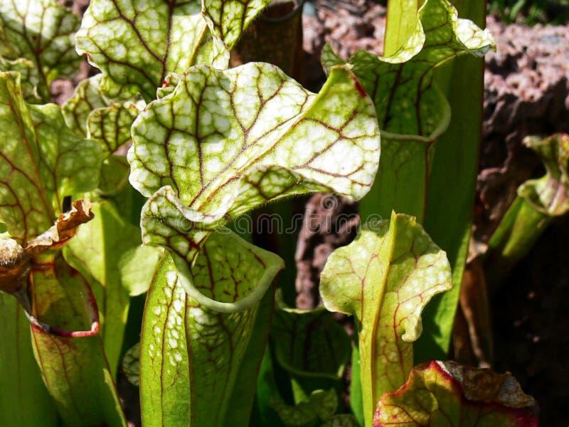 carnivorous växt royaltyfria foton
