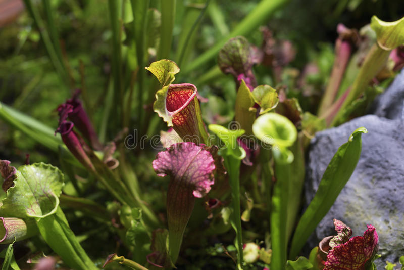 carnivorous växt Sarracenia royaltyfri fotografi