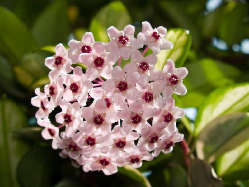 carnosa cv Hoya variegata obrazy stock