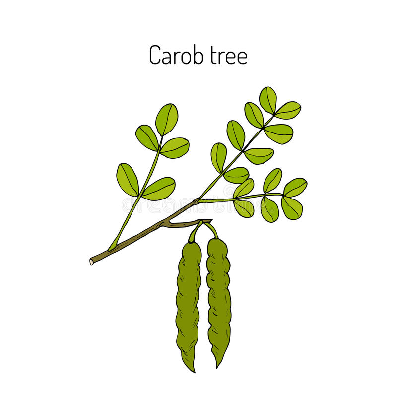 Carob eratonia siliqua. Or carob tree, St John s-bread, locust bean. Hand drawn botanical vector illustration vector illustration