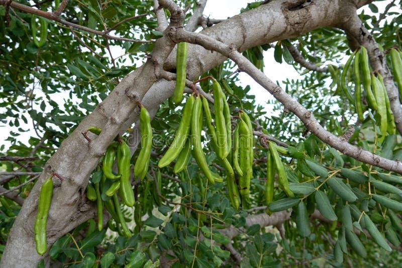 Carobträd med carobbönor royaltyfria bilder