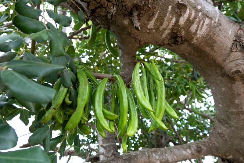 Carobträd med gruppen av carobbönor royaltyfria foton