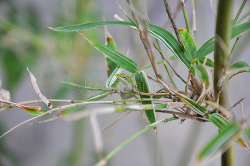 Carolina anole (carolinensis Anolis) royalty-vrije stock afbeelding
