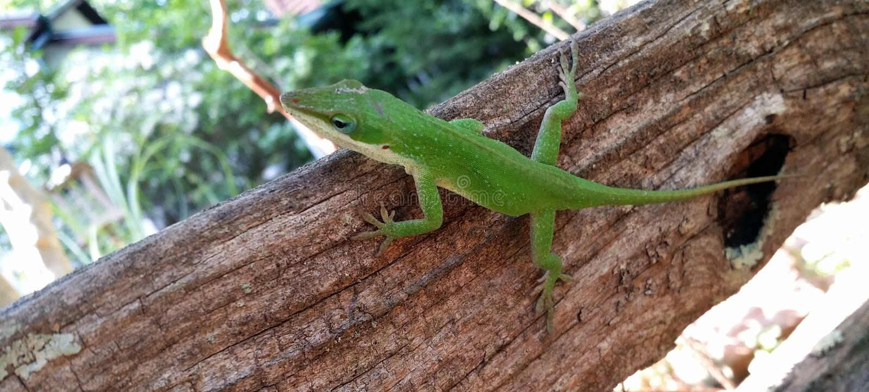 Download Carolina Anole Green Lizaard On A Tree Trunk Stock Image - Image: 101900869