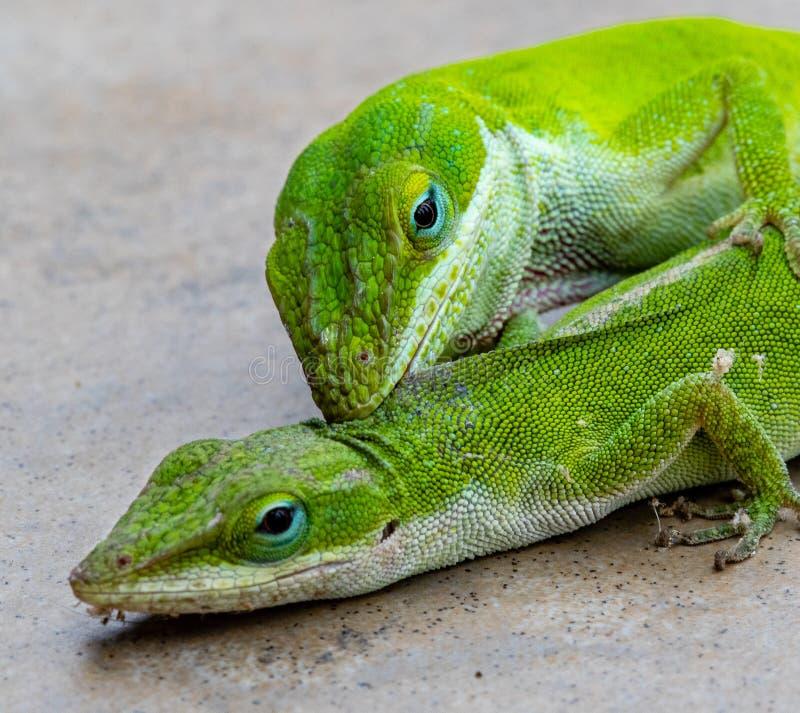 Carolina Anole, or green lizard, biting another lizard stock photos